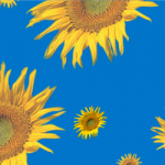 Sunflower Blue